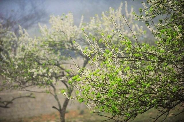 Một số loài hoa như: hoa cải, hoa dã quỳ, hoa ban ở Mộc Châu không mọc theo kiểu lẻ tẻ mà thường nở rộ cả một đồi, cả một thung lũng. Hoa mận cũng thế, hàng vạn cây mọc san sát nhau nên vào đúng thời điểm cả một đồi hoa như khoác thêm một chiếc áo mới tinh khôi trong nên trời xanh thẳm.