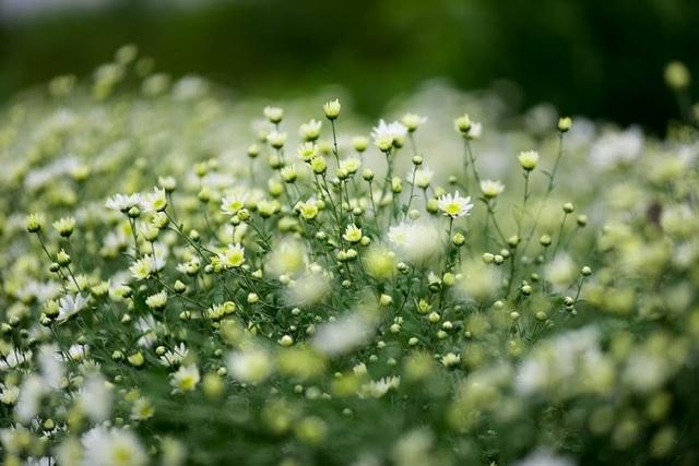 Những bông cúc mang màu trắng tinh khiết trở thành nét chấm phá không thể thiếu cho Hà Nội những ngày đầu đông