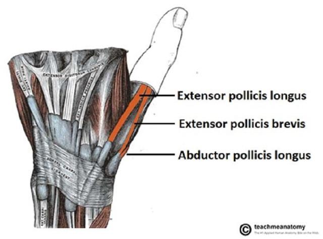 Khi chúng ta duỗi ngón cái hoặc co ngón cái lên, có thể dễ dàng nhìn thấy hõm lào giải phẫu nằm giữa 2 đường gân cơ duỗi của ngón cái.