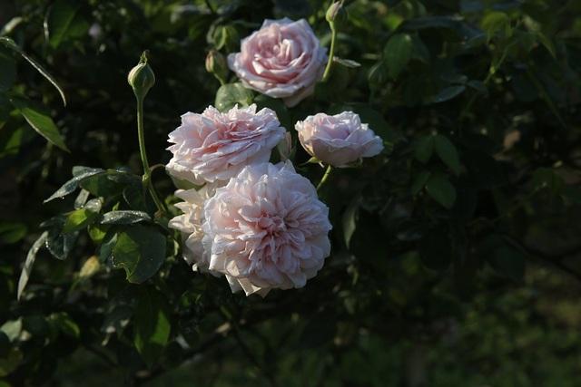 Hồng cổ Bạch Vân Khôi - một trong những loại hoa mang lại thành công trong việc kinh doanh của Thiên Trang