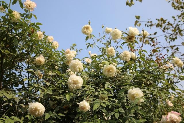 Hồng cổ Việt Nam đặc biệt là hồng cổ Sapa có vẻ đẹp tinh tế, mùi hương thơm rất dễ chịu và không hề thua kém hồng ngoại, tuy nhiên trước đây lại ít được biết đến.