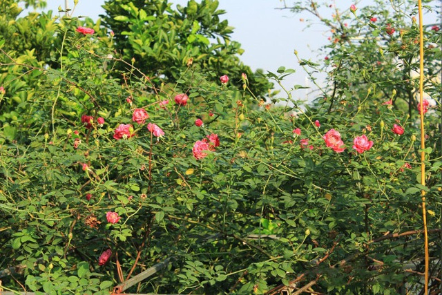 Trong các loại hoa hồng nội địa thì hồng cổ Sapa được ưa chuộng và săn tìm nhiều hơn cả. Loài hoa này được mang sang Việt Nam từ thời Pháp nên một số nơi còn gọi là hồng Pháp. Hồng cổ Sapa mọc khá sai hoa, bông to và dày cánh. Một cây hồng cổ Sapa đẹp, tuổi đời lâu năm có thể được trả giá lên tới hàng chục triệu, thậm chí cả trăm triệu.