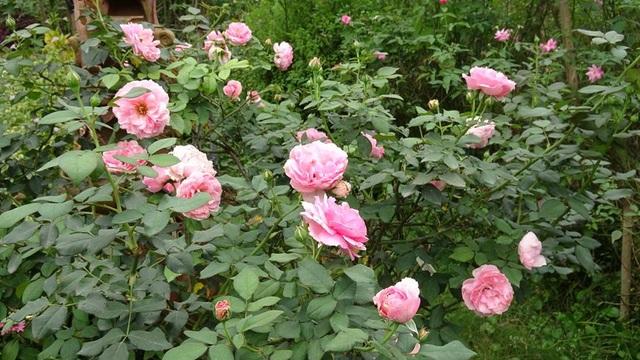 Hoa hồng Minh Khuê có xuất xứ từ Pháp, đây là loại hồng sở hữu kích thước bông thuộc loại khủng. Khi bung nở cực đại, một bông hồng Minh Khuê có thể đạt đường kính từ 10 đến 12cm. Mỗi bông gồm từ 50 đến 80 cánh lớn.