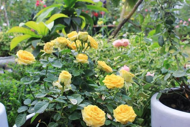Những bông hồng khoe sắc quanh năm tạo nên vẻ đẹp độc đáo, ấn tượng cho khu vườn