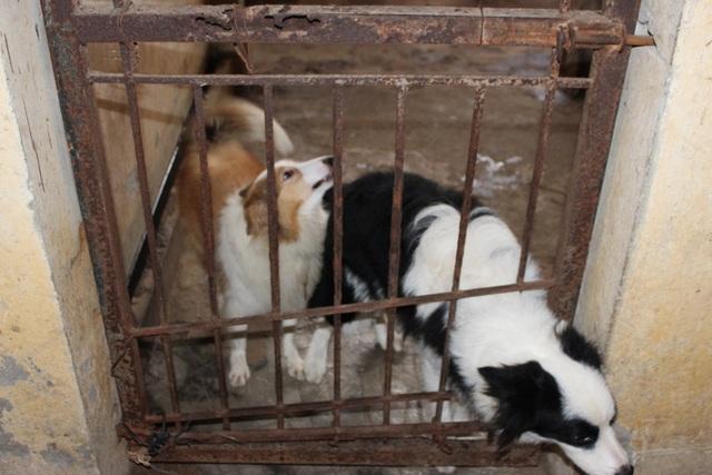 Mỗi chú chó có chung tâm lý, tính cách sẽ được xếp chung vào một chuồng.