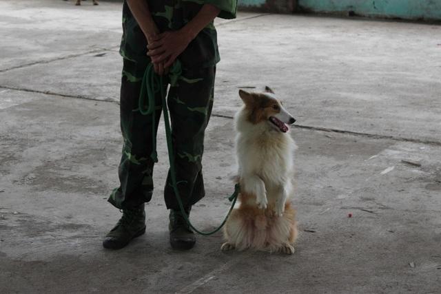 Sau một thời gian huấn luyện, chú chó có thể học được cách chào hỏi, đứng bằng hai chân.
