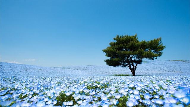 Công viên Hitachi phủ màu xanh ngắt của hoa Baby Eye