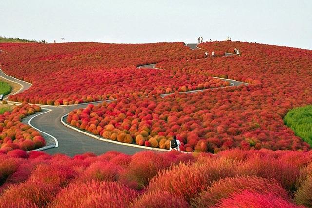 Mùa thu, công viên phủ màu đỏ ối của cỏ kochia. Ảnh: Internet