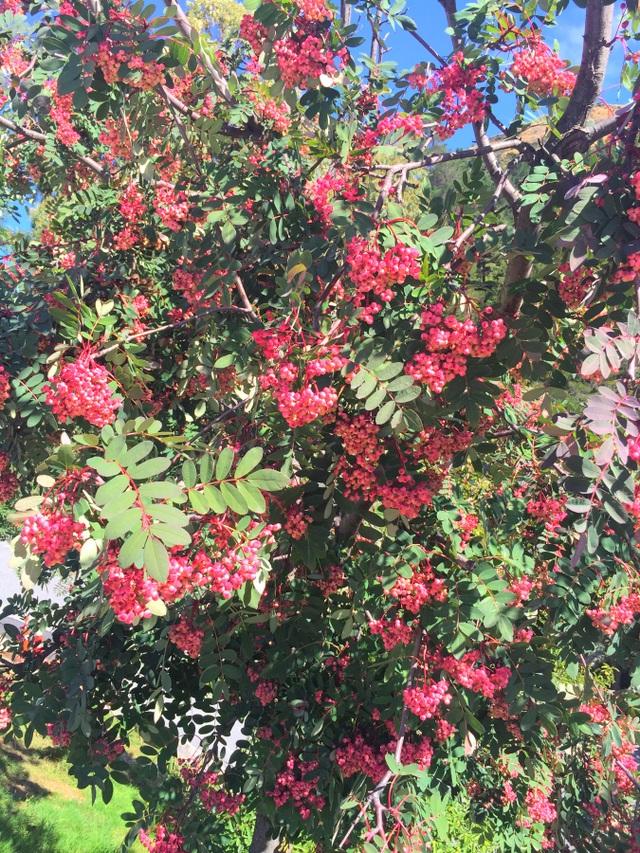 Đâu đó vang lên giai điệu của ca khúc Seasons in the sun rất phù hợp với một ngày đầu thu của NZ: We had joy, we had fun, we had seasons in the sun.... (tạm dịch: Chúng tôi đã có những khoảnh khắc vui và hạnh phúc, chúng tôi đã có những mùa nắng đẹp...)