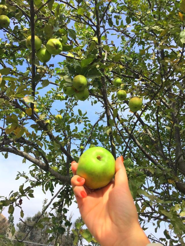 Thời điểm này, các loại táo đều rất ngon, ngọt, mọng nước, vị đậm đà và được thu hoạch tại nhiều nơi. Giá táo vì thế cũng khá rẻ, thường ở mức 3-5 đô la NZ/1 kg. Du khách có thể mua táo và đóng thùng mang về nhà