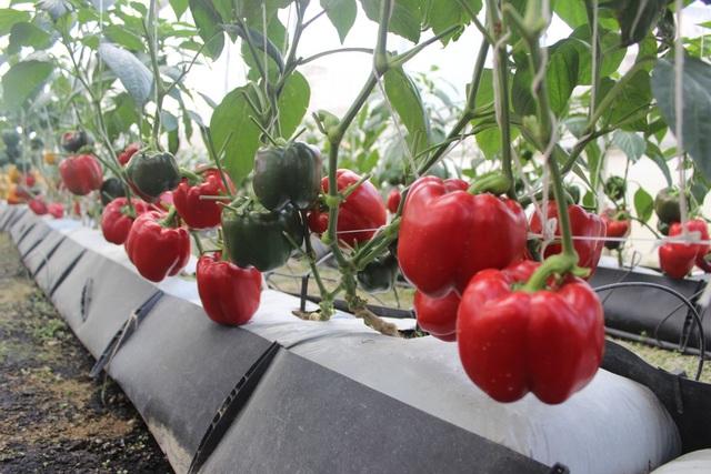 Nhờ ứng dụng công nghệ tự động vào sản xuất, cây trồng phát triển vượt trội và năng xuất cũng như chất lượng sản phẩm nông nghiệp đươc nâng cao
