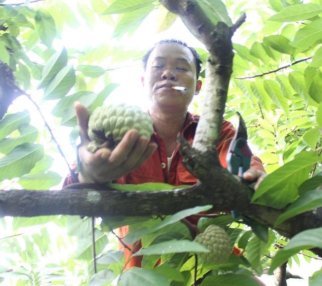 Anh Hứa Văn Cường, một người trồng na trên núi đá Lân Giao, cho biết: Diện tích na của mình trồng trên này là khoảng 1ha, có hơn 500 cây na. Để thu hoạch được hết số na này rồi chuyển xuống chợ Đồng Bành, cần rất nhiều công sức.