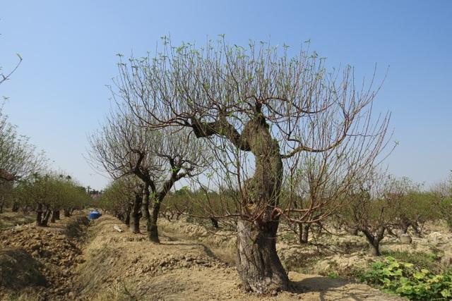 Những gốc đào cổ thụ như thế này sẽ được cho thuê với giá từ 3 triệu đến 20 triệu