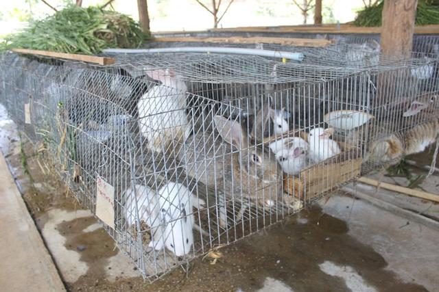 Với hơn 700 con thỏ trong đó có 100 con thỏ mẹ, gia đình ông Cũng thu về hàng trăm triệu đồng mỗi năm