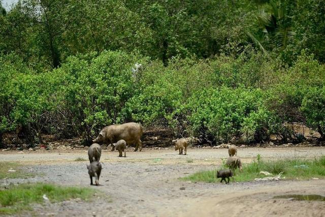 Đàn heo rừng ngày càng đông đúc trong dự án tỷ đô