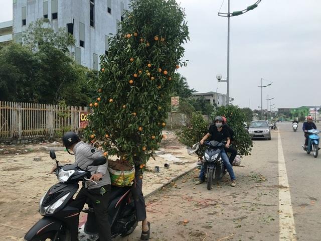 Những cây quất bị héo được người bán thu dọn mang về
