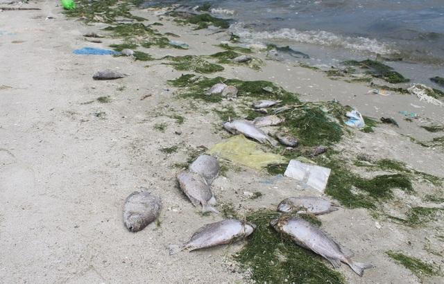 Cá chết hàng loạt dạt vào ven đầm Thủy Triều (xã Cam Thành Bắc, huyện Cam Lâm, Khánh Hòa)