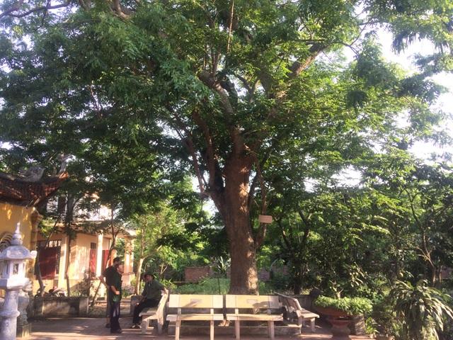 Cây sưa 400 tuổi có giá trị hơn cả cây đã bị chặt hạ