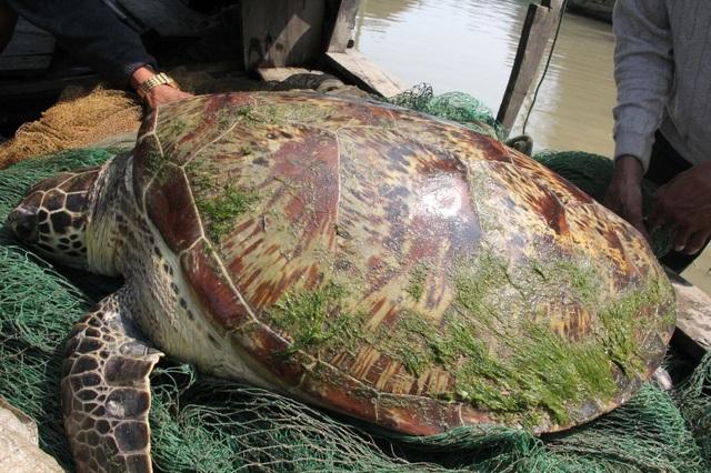 Con rùa biển này nặng gần 1 tạ đã mắc lưới của một ngư dân khi thả lưới trên sông Lam