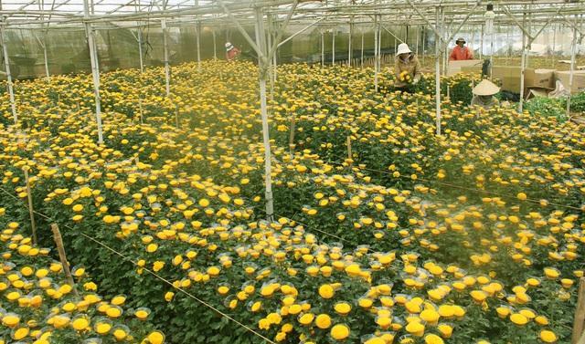 Nông dân làng hoa Thái Phiên, Đà Lạt đang thu hoạch hoa cúc