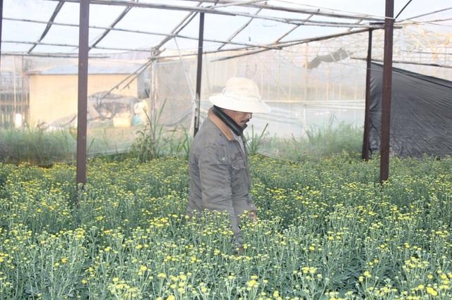 Nhiều ha hoa cúc ở TP Đà Lạt cũng bị nhiễm bệnh khiến nông dân lao đao