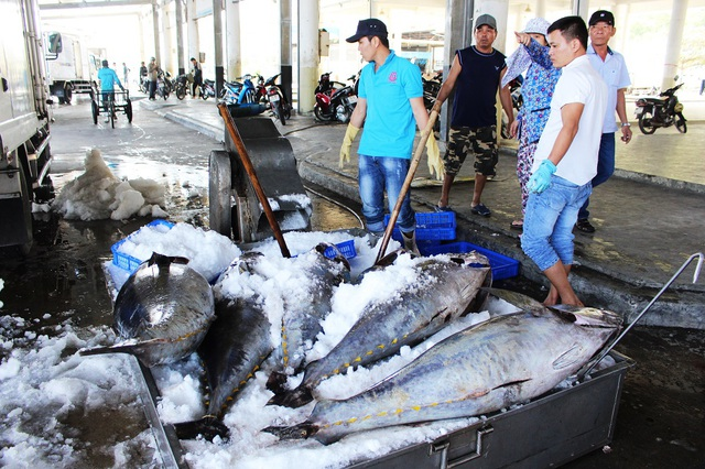 Cá ngừ đại dương sẽ được cấp đông trong xe đông lạnh trước khi đưa đi tiêu thụ