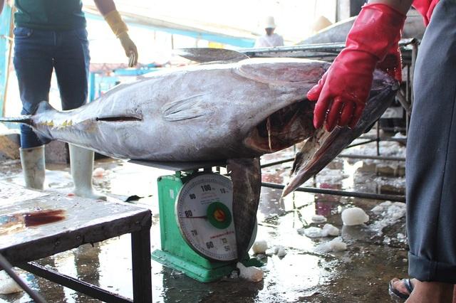 Có những con cá ngừ đại dương ở Trường Sa khủng, đạt gần 80kg