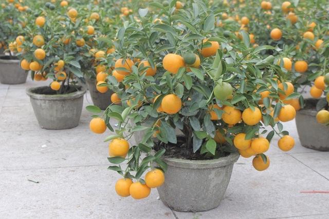 Quất tý hon ... là những loại cây mới xuất hiện tại thị trường chợ hoa Tết Hà Tĩnh
