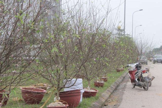 Khu vực bán đào phai Hà Tĩnh vắng vẻ, ế ẩm
