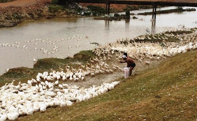 Người nuôi vịt Nghệ An đang kêu cứu vì giá rớt thê thảm.