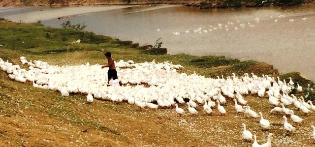 Nhiều tuần nay, người nuôi vịt tại huyện Yên Thành đang đau đầu không bán được vì giá vịt xuống quá thấp, ít người mua.