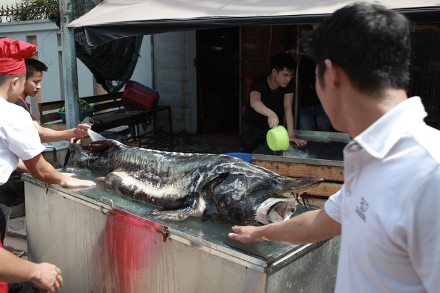 Con cá tầm có cân nặng lên tới 100kg có giá vào khoảng 100 triệu đồng