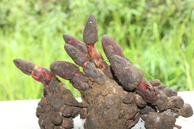 Nấm ngọc cẩu là một dược liệu có giá trị về y học