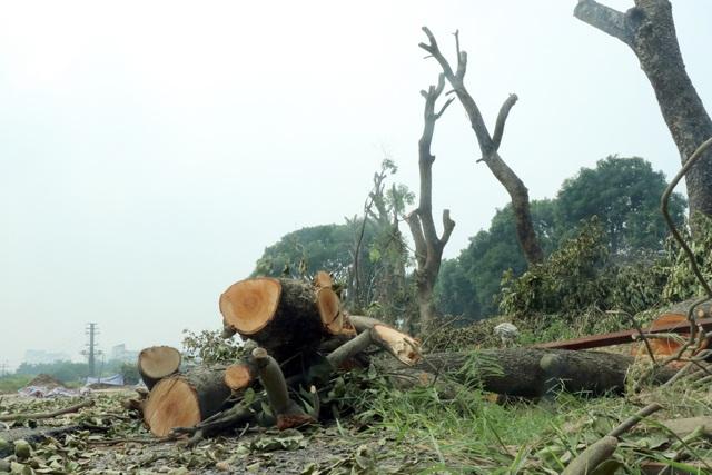 Trên tuyến đường có nhiều cây xà cừ cong, nghiêng, mục ruỗng phải chặt hạ