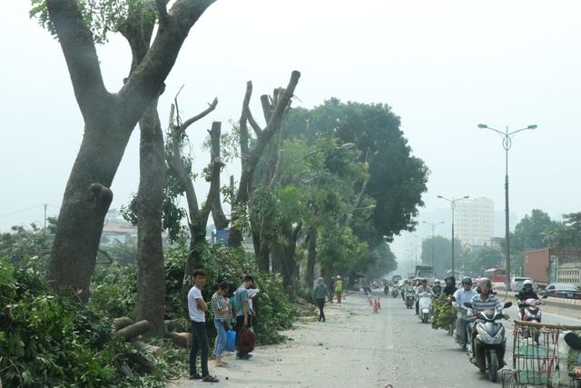 Đến nay, đơn vị thi công đã đánh chuyển được 150 cây xanh trên đường Phạm Văn Đồng