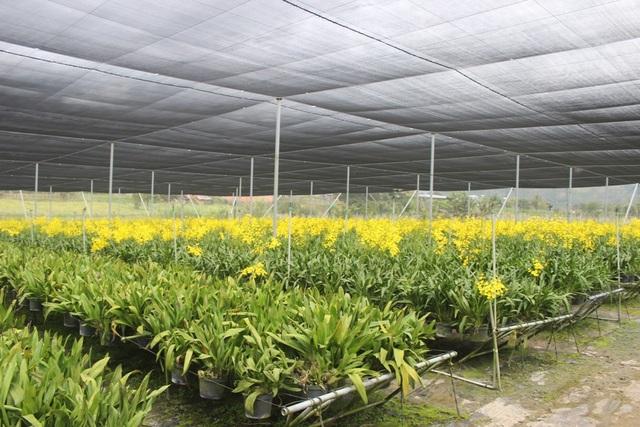 Bên trong những vườn hoa lan vũ nữ tiền tỷ của nông dân ở Lâm Đồng