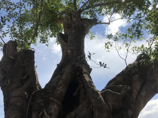 Theo người dân, cây Sộp cổ thụ có tuổi đời khoảng 200 năm.