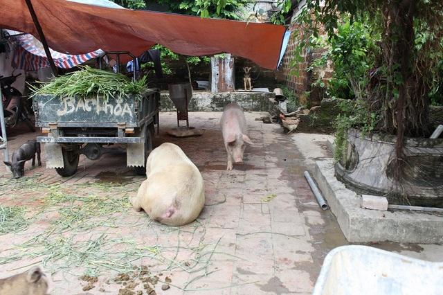 Lợn ở trong nhà, trong sân những ngày nước lũ chưa rút.