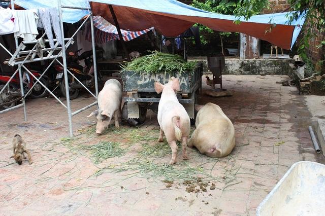 Dân Thủ đô nuôi lợn trong nhà, đánh cá giữa đường - 2