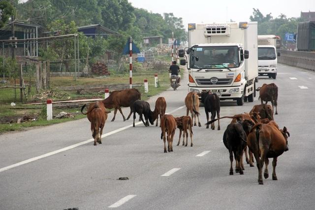 Cả đàn bò thả rông nghênh ngang đi lại trên QL 1A địa phận xã Cẩm Hưng, huyện Cẩm Xuyên, Hà Tĩnh. Ảnh PV Dân trí chụp chiều ngày 26/10/2017.