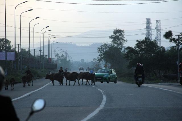 Một đàn bò rông rải trên QL 1A địa phận xã Kỳ Trinh, thị xã Kỳ Anh chiều ngày 26/10.