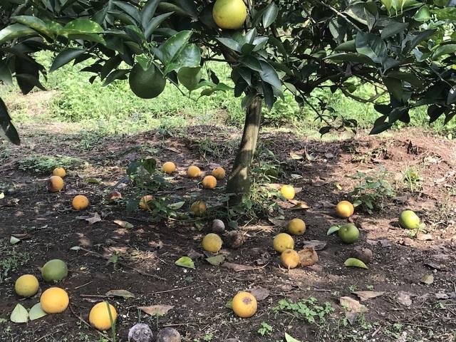 Những quả cam ít ỏi còn lại cũng bắt hỏng và sẽ rụng trong những ngày tới.