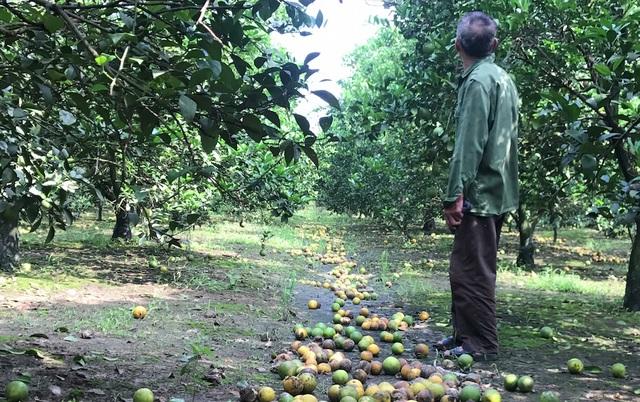 Ông Thẩm ngơ ngác nhìn vườn cam không còn mấy quả trên cây.