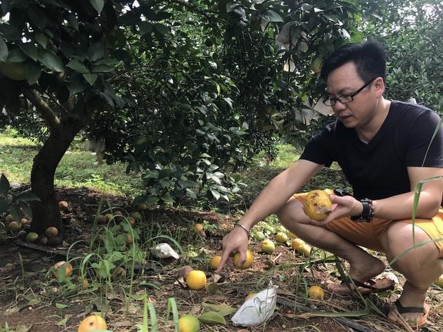 PV Dân trí mục sở thị những vườn cam tại nông trường cam Xuân Thành, huyện Quỳ Hợp đang chuẩn bị thu hoạch đã phải đổ đi vì cam rụng non ...