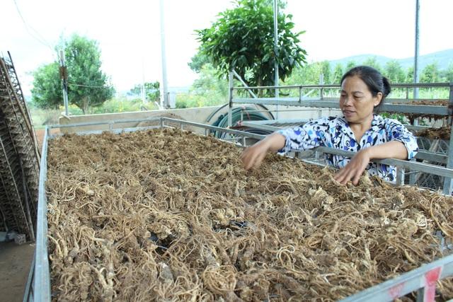 Đương quy sau khi thu hoạch sẽ được sấy thành phẩm và cung cấp cho các thị trường dược liệu