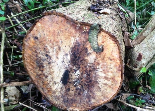 Phần lớn thân gỗ đã được đưa ra khỏi rừng, chỉ còn lại đầu mẫu hoặc những cành cây không lấy được bỏ lại trong rừng