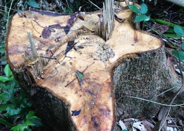Những cây gỗ lớn lên đến hơn 100 vanh đã bị khai thác