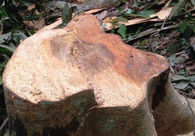 Kẻ gian chọn những cây gỗ có giá trị để khai thác