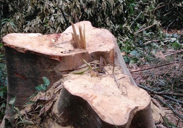 Những gốc cây vừa được cưa còn tươi rói