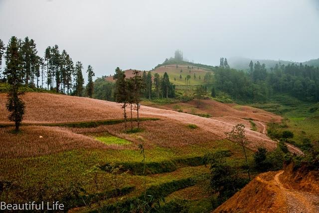 Ở Lào Cai, ngoài cánh đồng hoa ở huyện Si Ma Cai, tam giác mạch còn mọc khá nhiều ở huyện Bắc Hà.